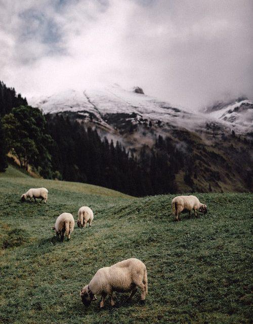 Sheep grazing on a mountain.